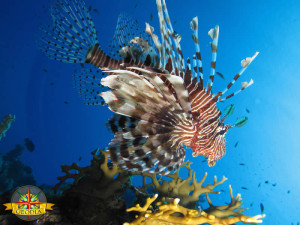 Pesce leone in Mar Rosso