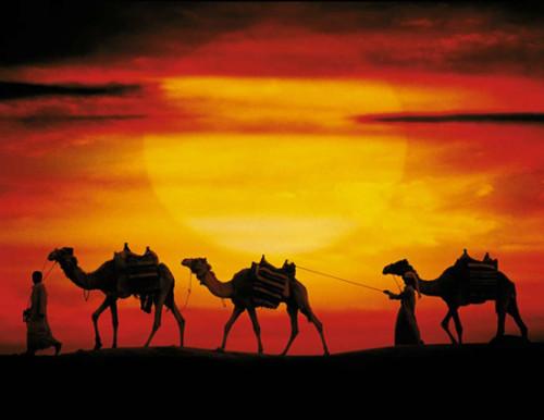 Camels-sunset