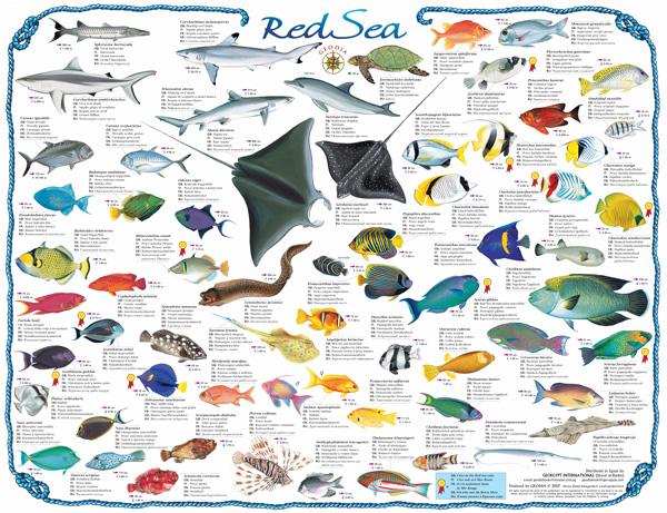 Geodia guide e libri sul mondo fishes of the red sea for Red sea fish